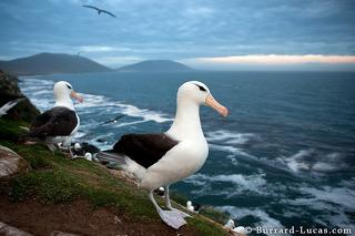 Albatross on Cliff