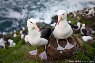 Albatross Pair on Nest