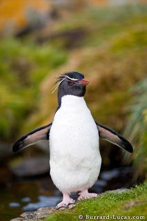 Bathing Rockhopper