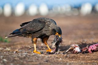 Caracara Eating