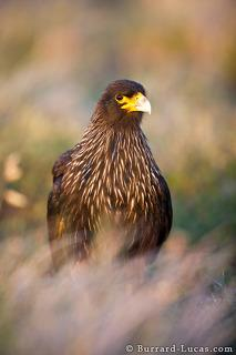 Caracara in Grass