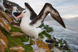 Albatross Flapping