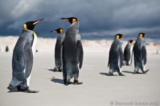 King Penguin Mob
