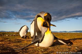 Mating King Penguins