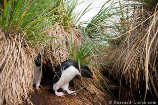 Penguins in Tussock