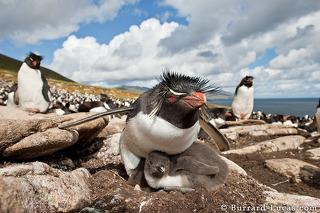 Rockhopper on Chick